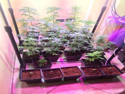 Marijuana sequestrata a Lucrezia
