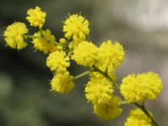 festa della donna, mimosa, giornata internazionale delle donne