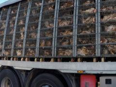 Controlli ai trasporti di animali vivi