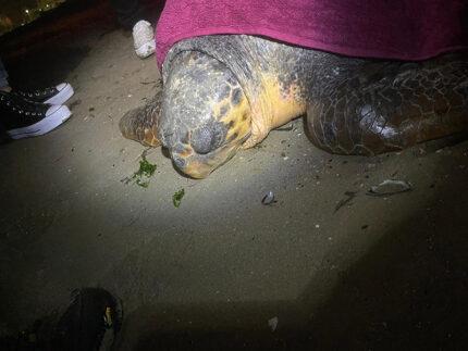 Tartaruga spiaggiata nel litorale pesarese